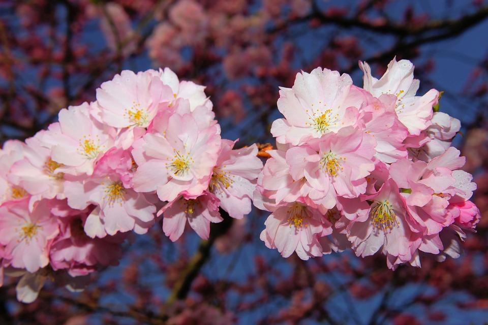 japanese cherry blossoms sakura trees